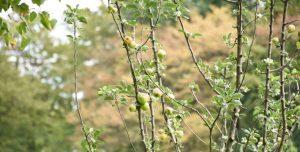 Ein Apfelbaum hat schon angefangen Früchte zu tragen.